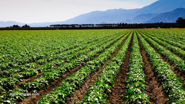 Scientists now attempting to 'rewild' crops through ...