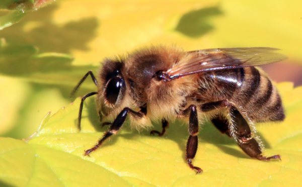 Image: Another species of bee added to the endangered list, almost wiped out by Monsanto