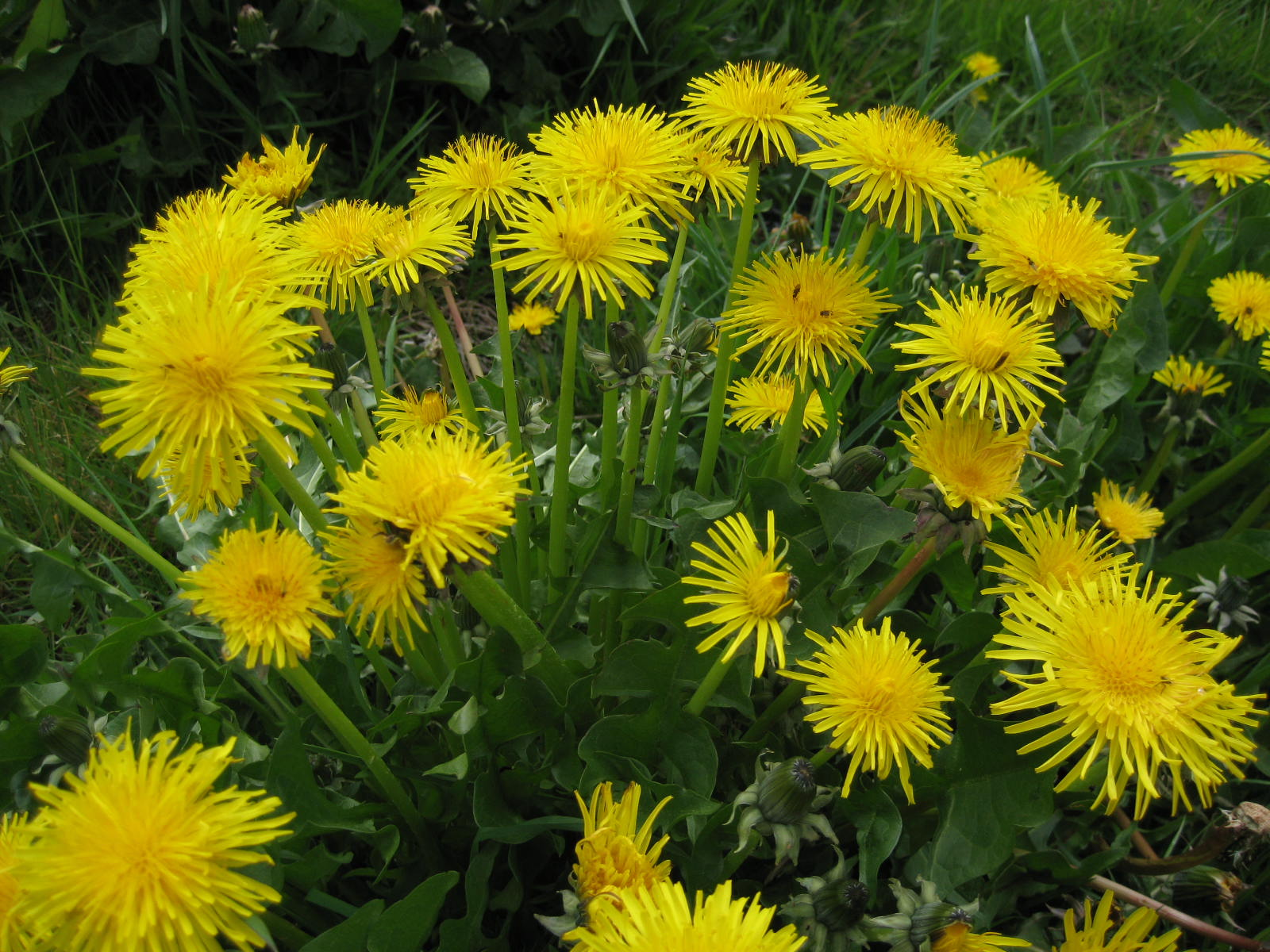 Image: Dandelion root, a cancer cell killer, has a long history as medicine