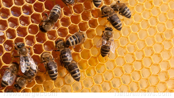 Image: Bee propolis found to be effective at slowing the spread of colon cancer, study finds