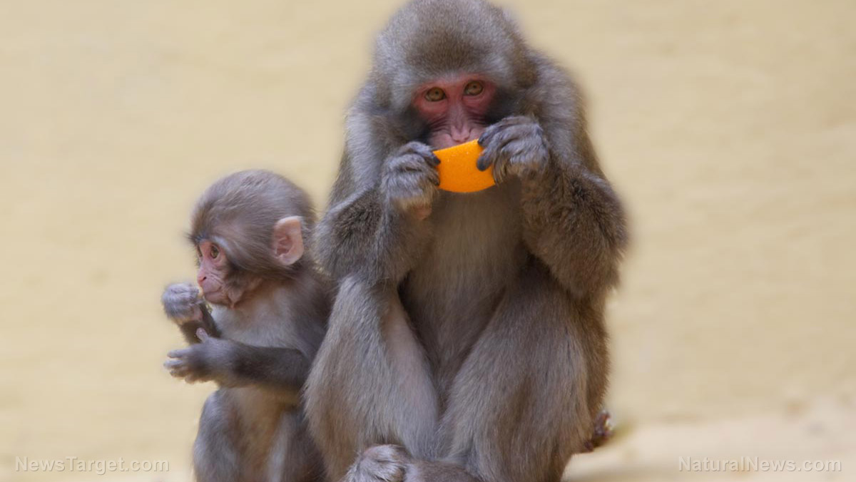Image: MONKEY MARKETING: Indonesian monkeys STEAL objects from tourists, then BARTER them to other people for food