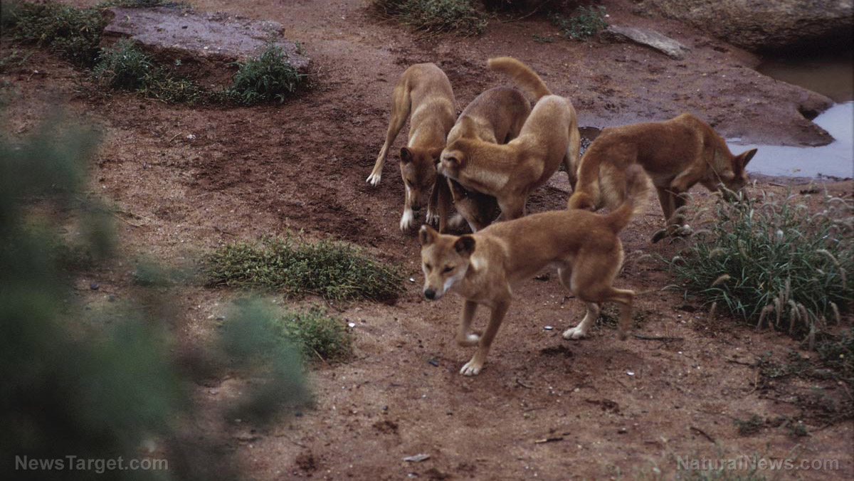 "Image: African dogs ""vote"" on group decisions by SNEEZING"