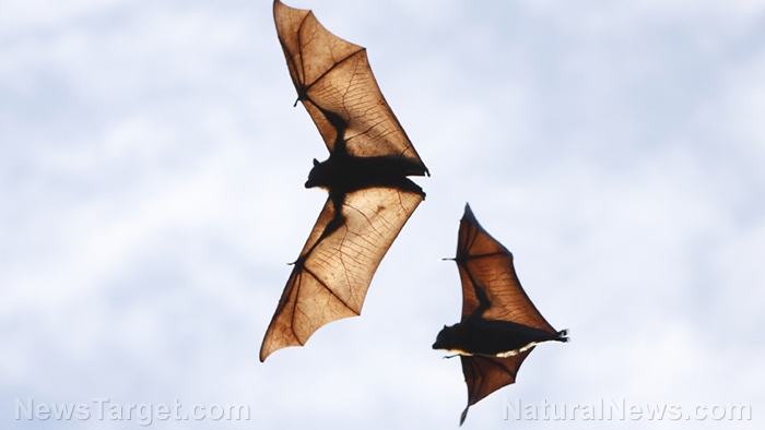 "Image: Bats, like humans, decipher where others are from based on their regional ""accent,"" according to new study"