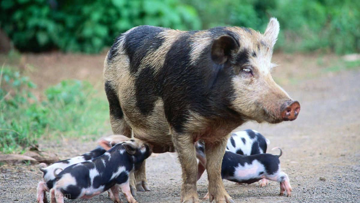 Image: HOGpocalypse taking over Texas with millions of wild pigs… but it's also easy wild food in a collapse