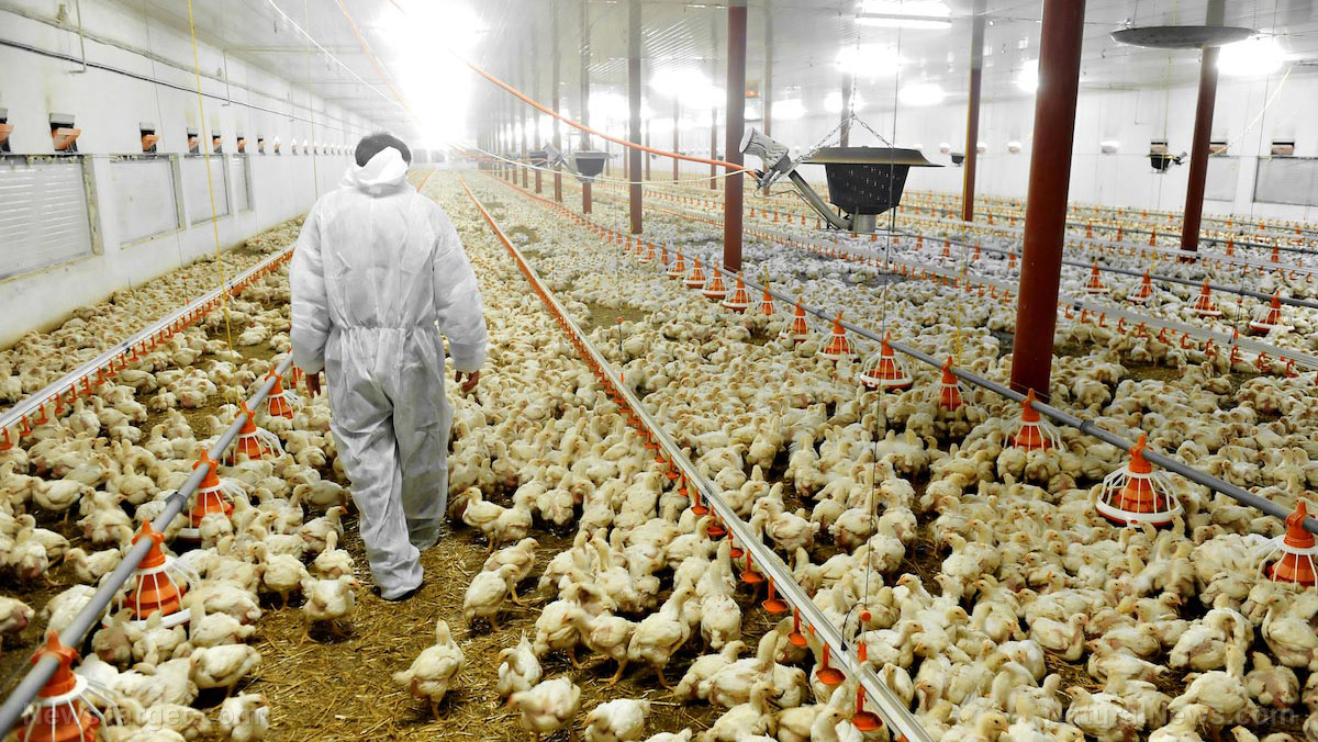 Image: Here's why America's chicken meats have to be washed with toxic chlorine