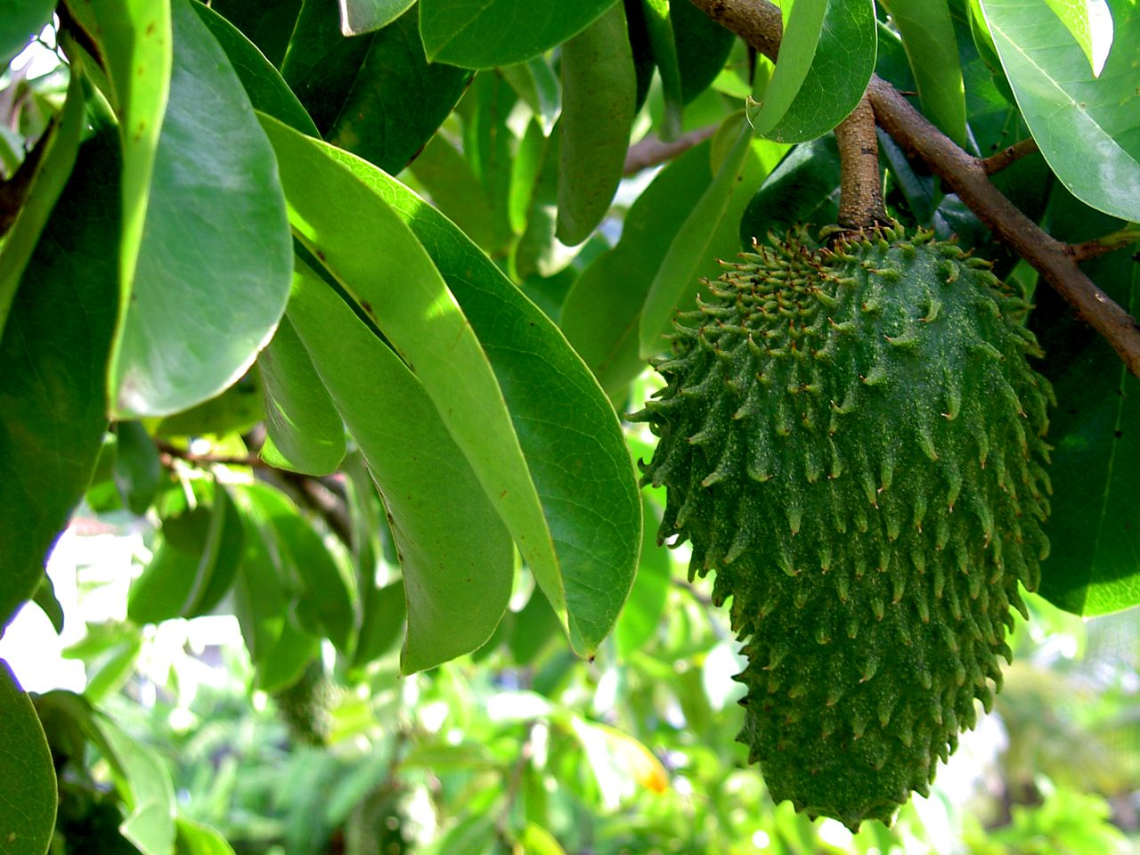 Image: The strange-looking tropical fruit graviola is a POWERFUL superfood against cancer
