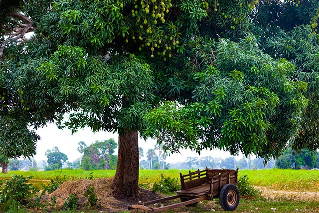 Image: Mango tree extract could prevent iron deficiency