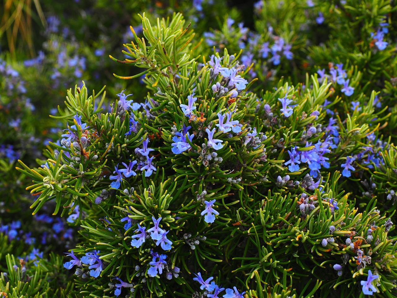 Image: Rosemary extract found to be a powerful anti-hyperglycemic solution for people who have problems with high blood sugar