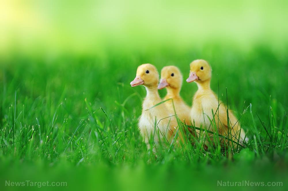 Image: Marjory Wildcraft from The Grow Network explains why she switched from geese to ducks