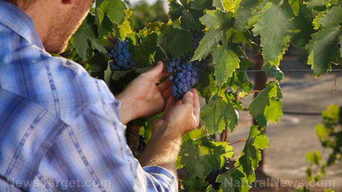 Image: Grape growers can increase the nutrients in their wine by removing leaves early, though it does decrease crop size