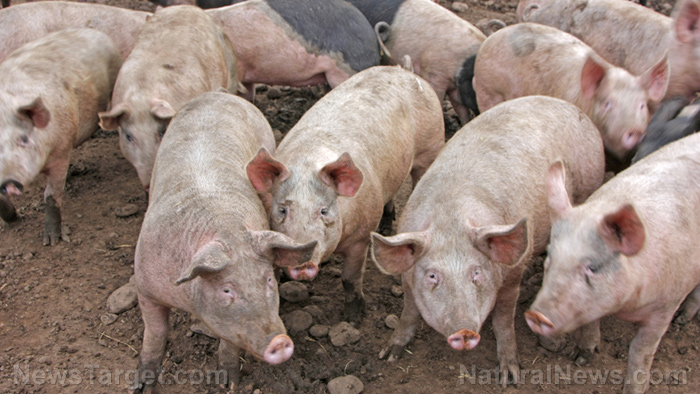 Image: Replacing antibiotics in meat production: Feeding pigs probiotics found to improve gut health, nutrient use, growth