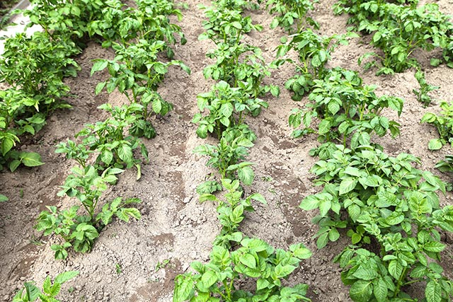 Image: Want bigger, healthier potatoes? Use straw mulch; it improves soil quality and suppresses weeds