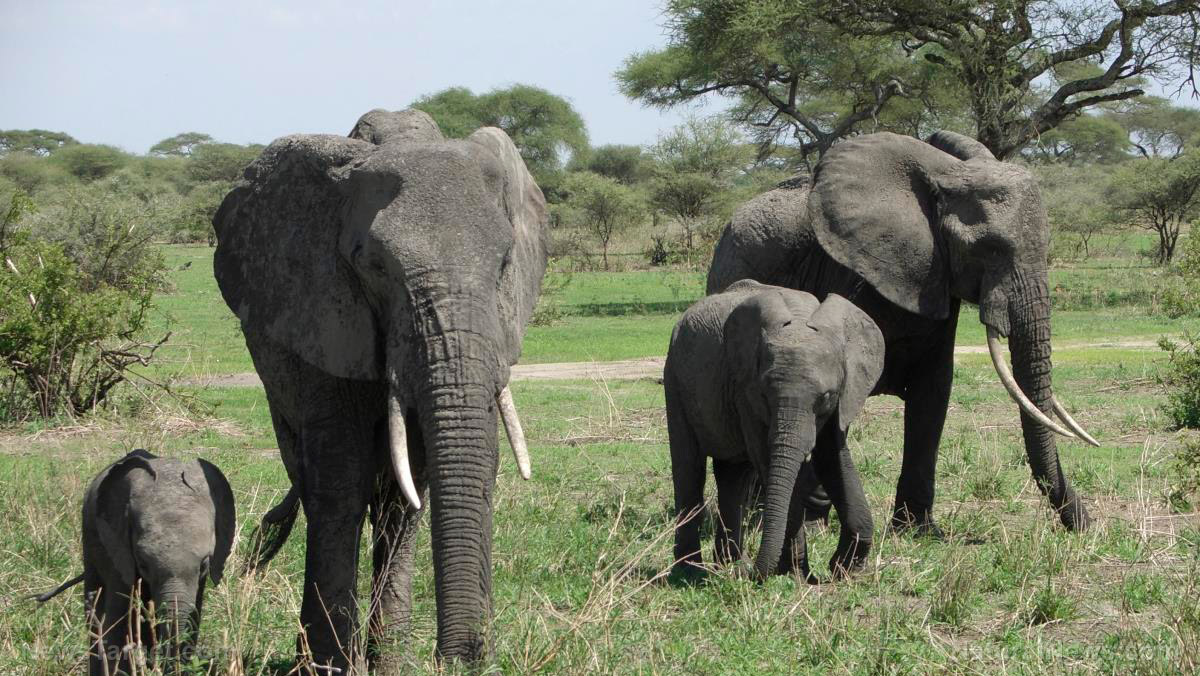 Image: Startup develops AI tool that will strengthen efforts to protect endangered elephants