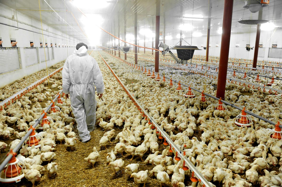 Image: U.S. chicken farms are so dirty, meat has to be washed with chlorine before being sold for human consumption