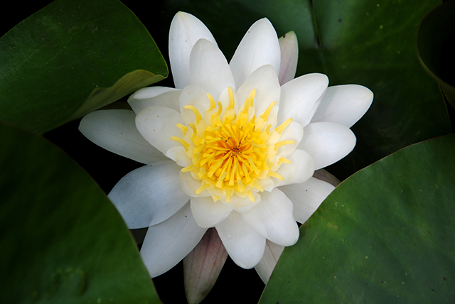 Image: Better than milk thistle seeds? Researchers say white water lily protects your liver