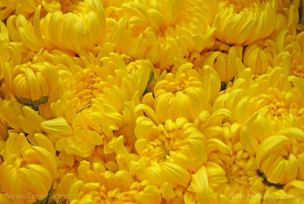 Image: Chrysanthemums: A natural deterrent for the yellow fever mosquito