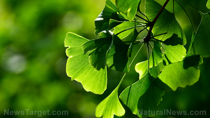 Image: Ginkgo biloba shows potential value in the treatment of over 100 diseases