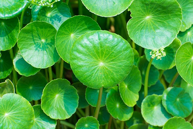 Image: Learn how gotu kola reduces stress and anxiety