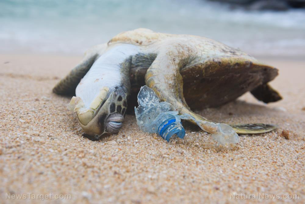 Image: Turtles remain threatened by plastic pollution: Microplastics have been found deep within the sand where the sluggish reptiles lay their eggs