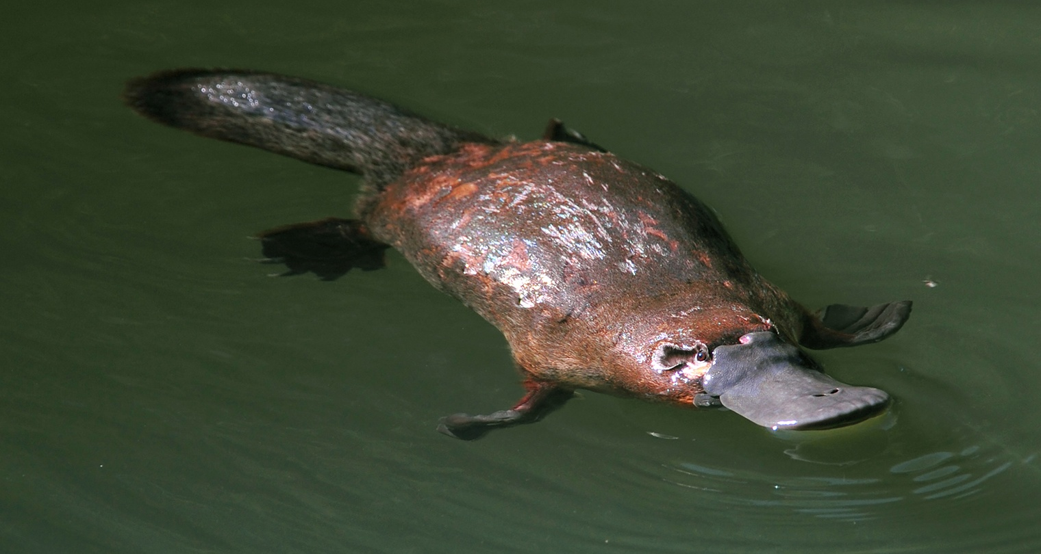 Image: An unlikely hero in antibiotic resistance: Platypus milk could be used to fight superbugs