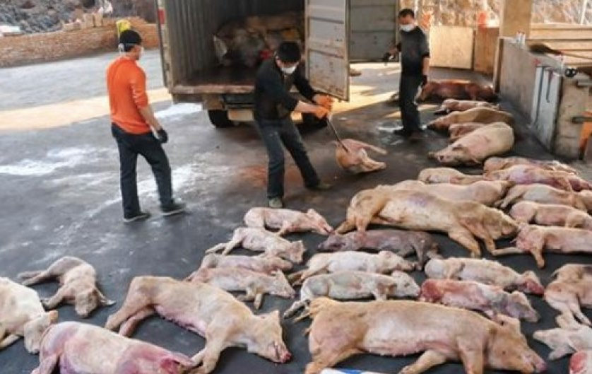 Image: Threat of deadly African swine fever virus triggers biggest seizure of U.S. agricultural products in history