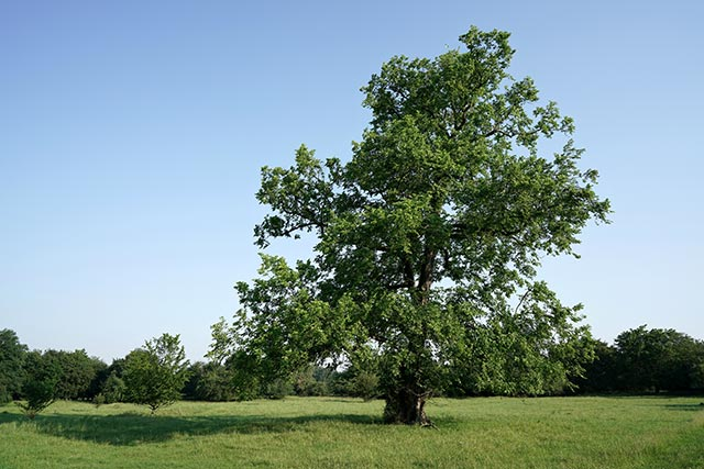 Image: Field elm bark protects against liver damage, gastric ulcers and high blood pressure