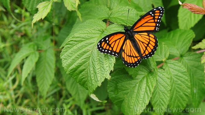 Image: Study: Habitat destruction to blame for the demise of monarch butterflies in California