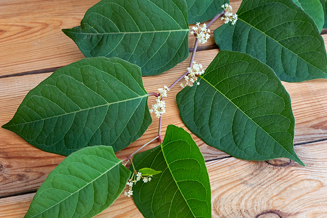 Image: Japanese knotweed found to inhibit signaling, cell growth of hepatocellular carcinoma stem cells