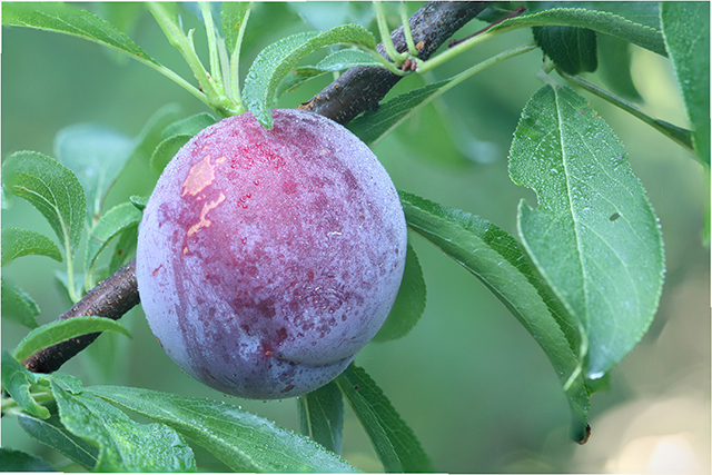 Image: Polyphenols in plum exhibit anticancer properties