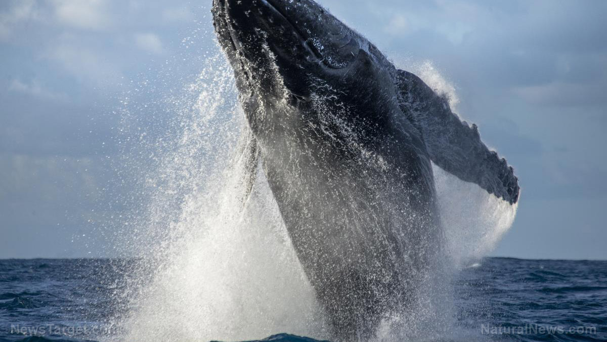 Image: Rapid recovery: Humpbacks are making a comeback that could overwhelm the Southern Ocean, push numbers back down