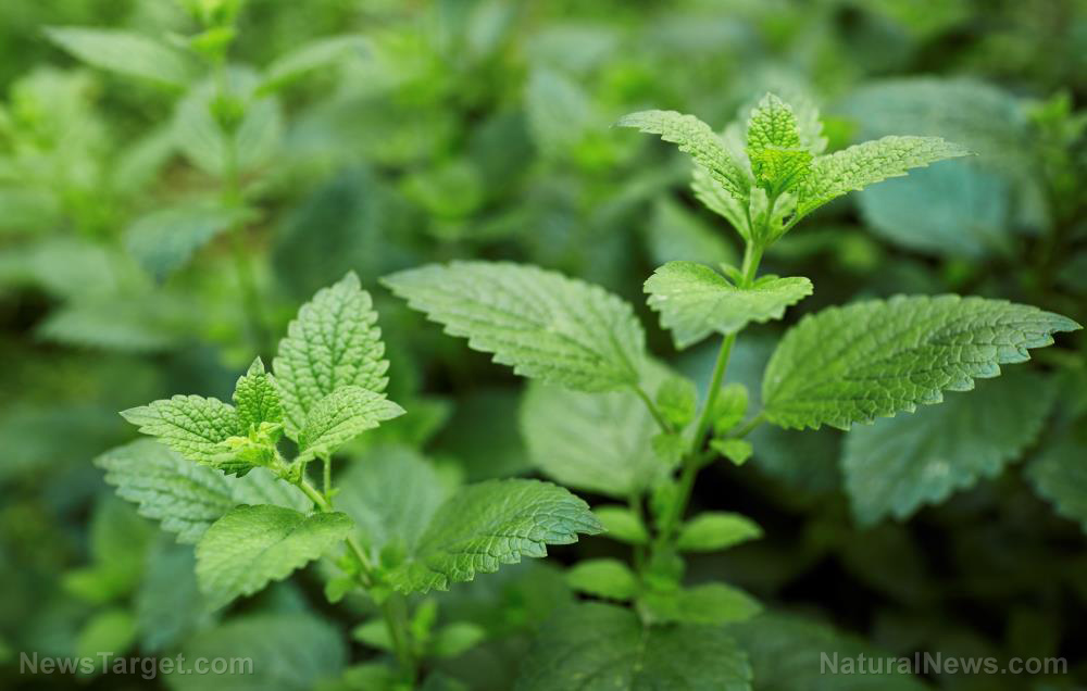 Image: Lemon balm is excellent survival medicine: Review of its medicinal properties and how to use it