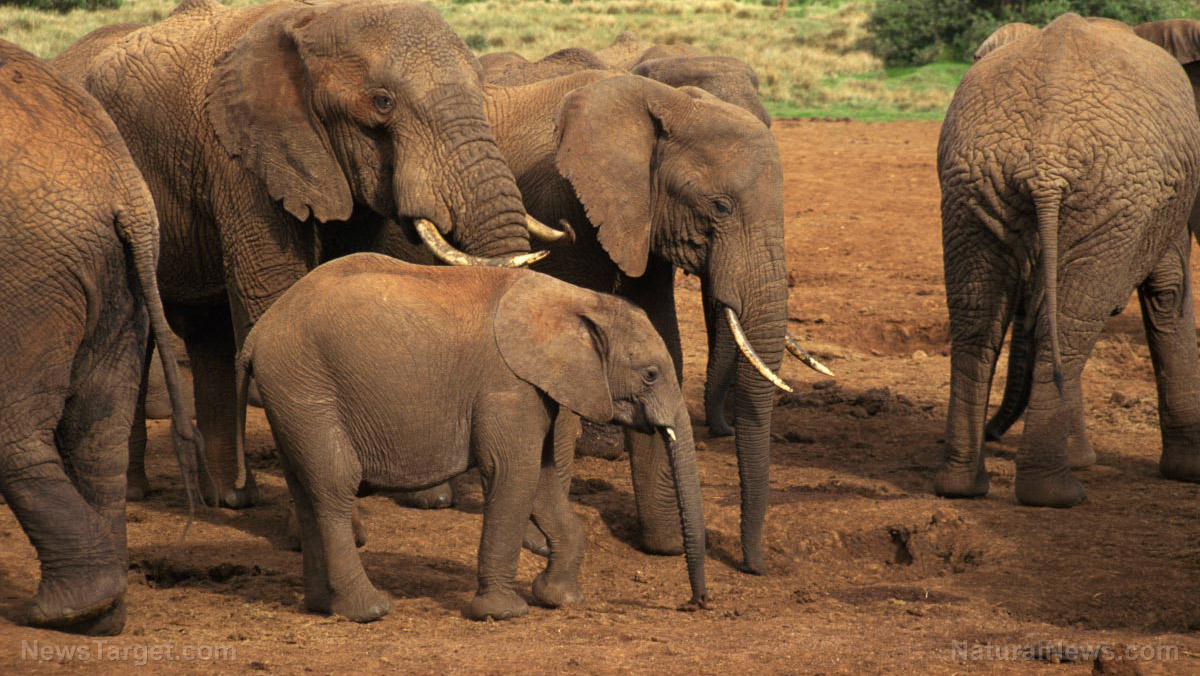 Image: Are wildlife tourists helping or harming elephants? Experts say they pressure elements to become more violent