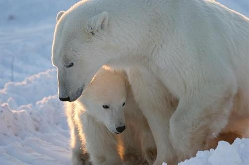 Image: The polar bear narrative of the climate cultists is about to implode: Polar bears are OVERPOPULATED