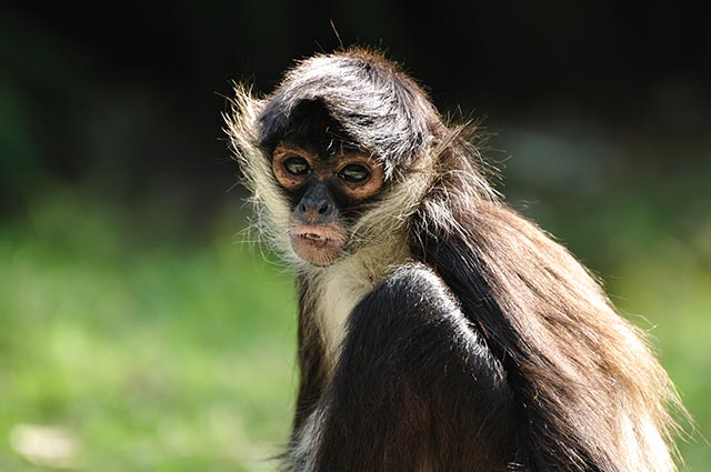 "Image: Advanced communication? Spider monkeys adjust their ""whinnies"" to regain contact with their group"