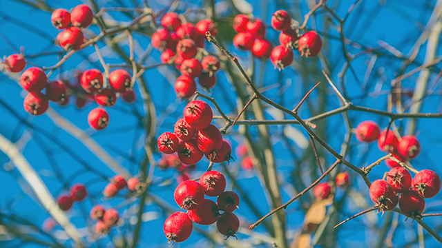 Image: Tart, sweet and full of antioxidants: 5 Reasons to add nutrient-rich hawthorn berries to your diet