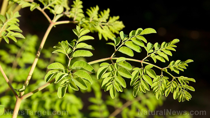 Image: Worried about your liver after taking Tylenol? Take Moringa peregrina – it has been found to help mitigate the effects of liver toxicity caused by the drug