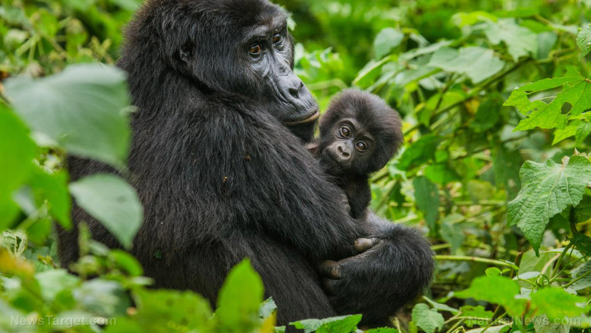 "Image: Evidence of ""funerals"" in gorilla society? Video shows baby grooming dead mother's body"