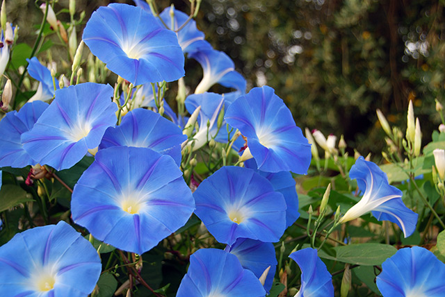 "Image: Dwarf morning glory is the best herb for making an Ayurvedic ""brain tonic"" – study"