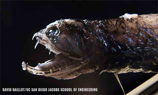 Image: Why do deep-sea dragonfish have invisible teeth?