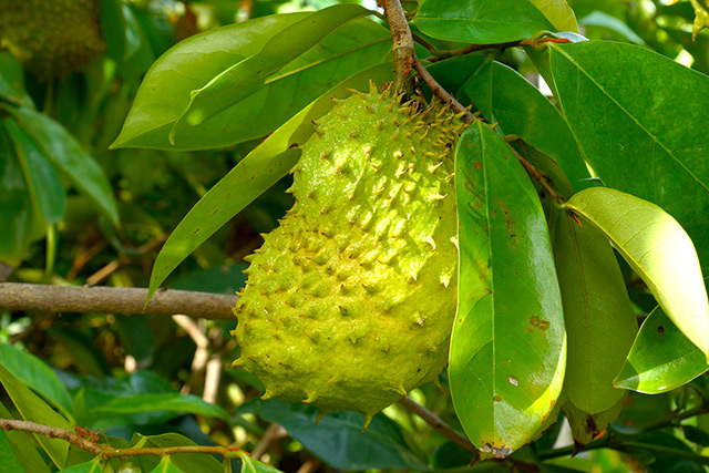 Image: (Science) Investigating the multiple biological activities of Annona muricata
