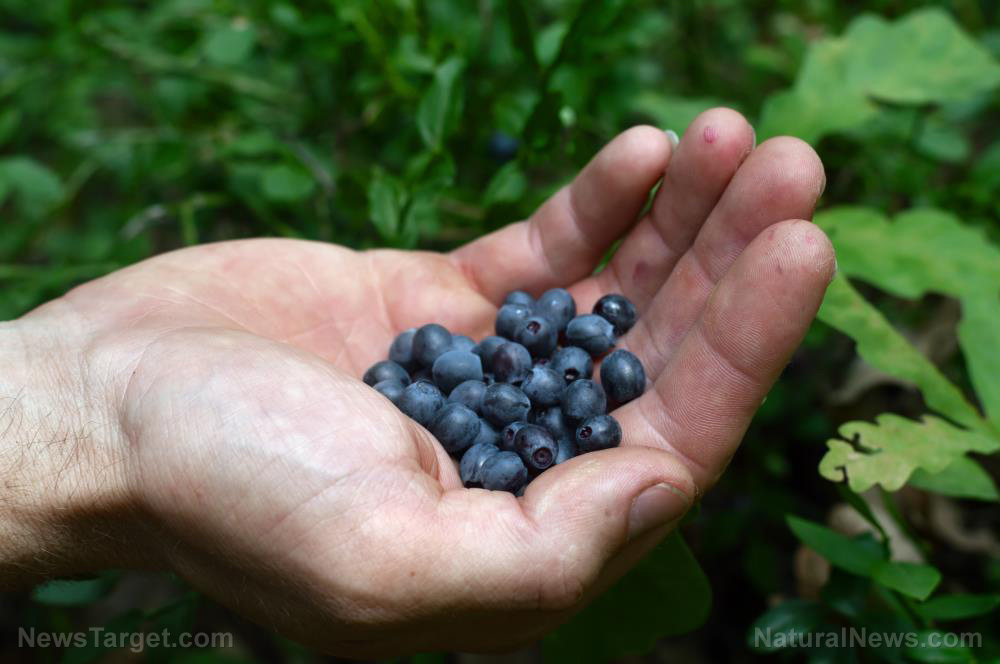 Image: Studies look into the benefits of blueberries for heart disease, diabetes prevention