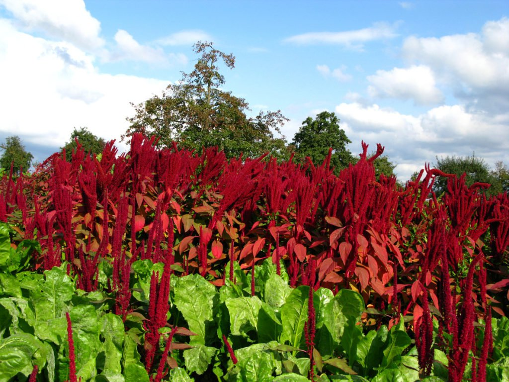 Image: How to grow, use and store amaranth, the fiber-rich superfood