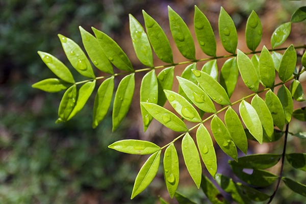 Image: How can this Southeast Asian shrub prevent bone-erosive diseases like osteoporosis?