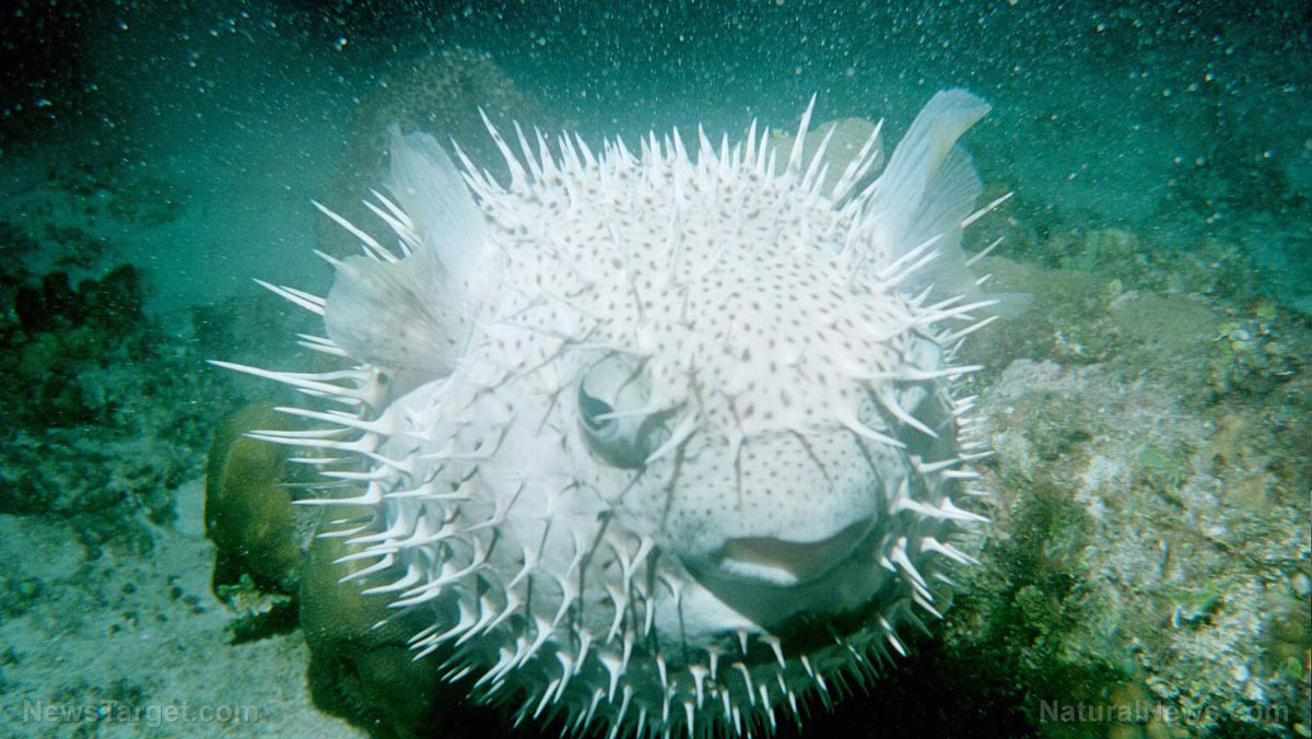 Image: Scientists develop super-water-repelling material inspired by spiky porcupinefish skin