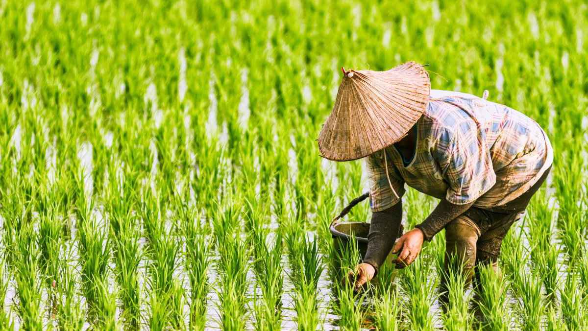 Image: Researchers take a closer look at the migration of heavy metals from soil to rice in China