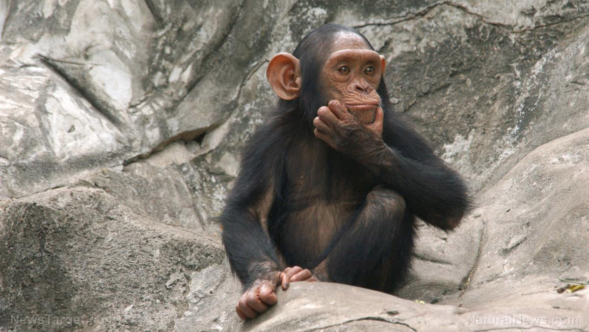Image: Theory of mind: Fascinating study suggests great apes can understand each others' mental states, just like humans