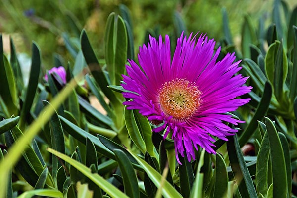 Image: Hottentot fig, a medicinal plant from South Africa, can treat common ailments without causing blood toxicity
